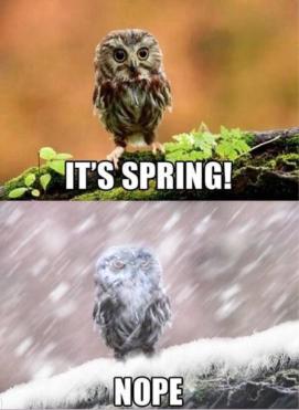 springowl